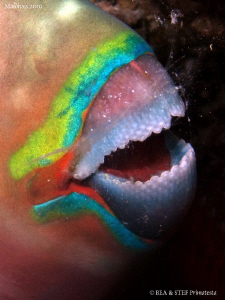 Ember Parrotfish, Scarus rubroviolaceus. Night dive. Cano... by Bea &amp; Stef Primatesta 